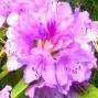 Rhododendhron