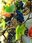 bild-klara vindruvor