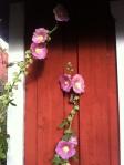 bild-rosa stockros